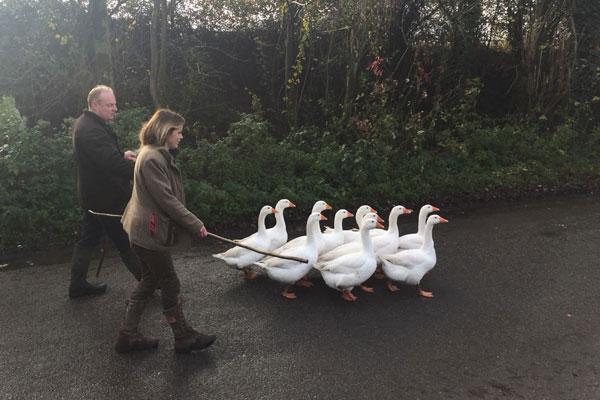 When Norfolk Geese Won the Challenge