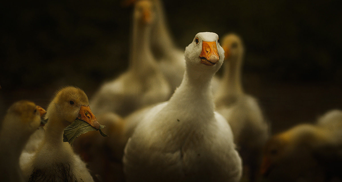 Chairman John Franklin Reviews the Goose Sector