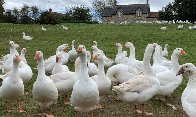 Goose Farm Walk 2019